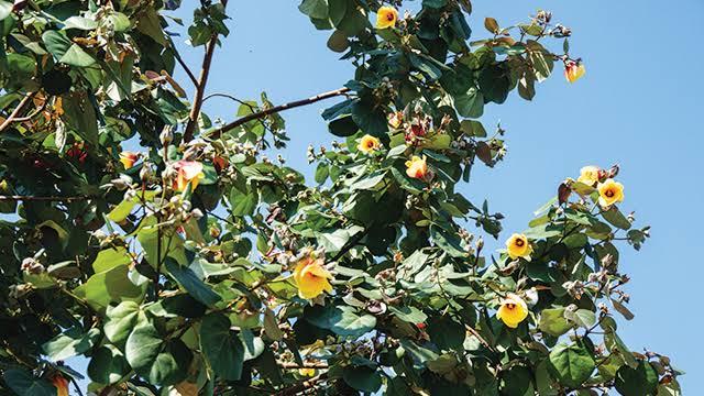 Ada di Green Talao Park, Pohon Haru yang kaya manfaat